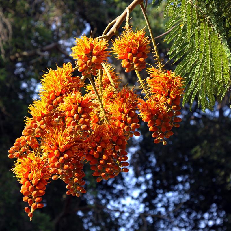 Colvillea racemosa de SAplants, CC BY-SA 4.0, via Wikimedia Commons