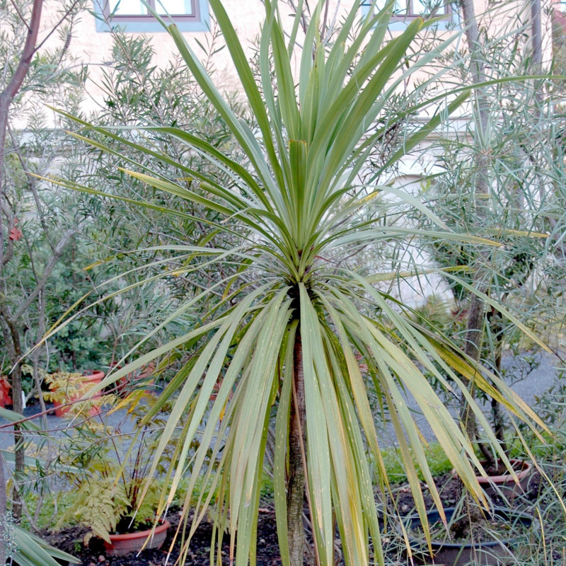 Cordyline australis de Carstor, CC BY-SA 3.0 via Wikimedia Commons