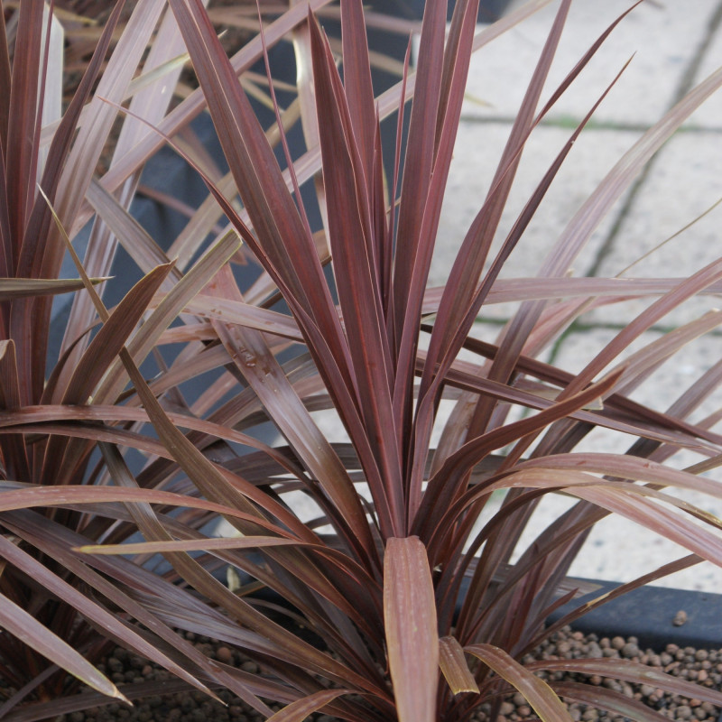 Cordyline australis de Хомелка, CC BY-SA 3.0, via Wikimedia Commons