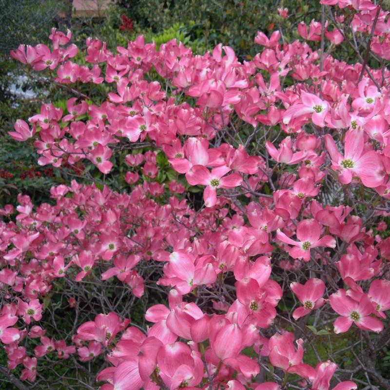 Cornus florida rubra de ElmAgos, CC BY-SA 3.0, via Wikimedia Commons