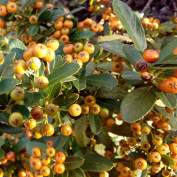Cotoneaster salicifolius de Ανώνυμος Βικιπαιδιστής, CC BY 3.0, via Wikimedia Commons