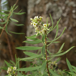 Daphne gnidium de Luis Fernández García, CC BY-SA 3.0, via Wikimedia Commons