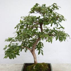 Diospyros rhombifolia de Cephas, CC BY-SA 3.0, via Wikimedia Commons