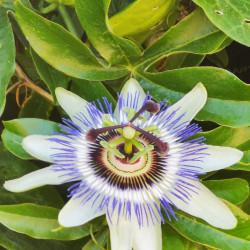 Passiflora caerulea Semences du Puy
