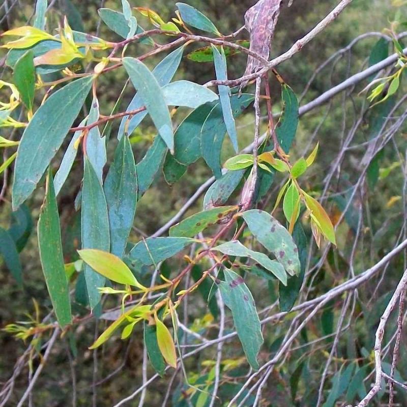 Eucalyptus stellulata de Poyt448 Peter Woodard, CC0, via Wikimedia Commons