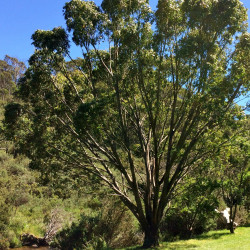 Eucalyptus stellulata de Geekstreet, CC BY-SA 4.0, via Wikimedia Commons