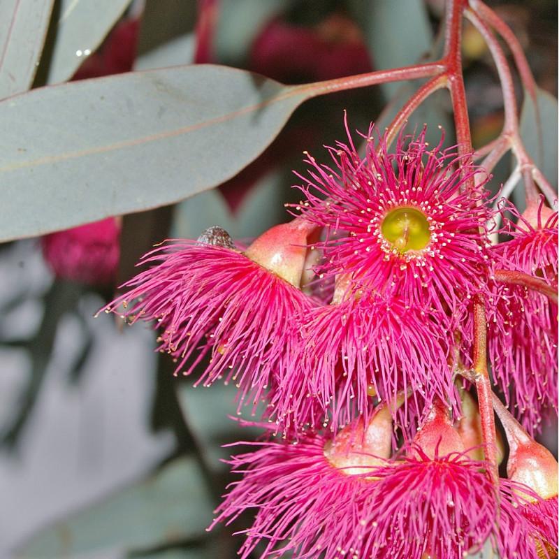 Eucalyptus sideroxylon de Bidgee, CC BY 3.0, via Wikimedia Commons