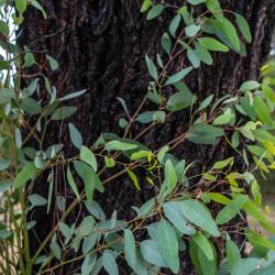 Eucalyptus sideroxylon de John Robert McPherson, CC BY-SA 4.0, via Wikimedia Commons