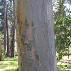 Eucalyptus nitida de Krzysztof Golik, CC BY-SA 4.0, via Wikimedia Commons