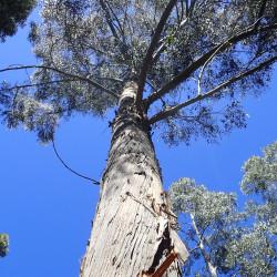 Eucalyptus delegatensis de Krzysztof Ziarnek, Kenraiz, CC BY-SA 4.0, via Wikimedia Commons