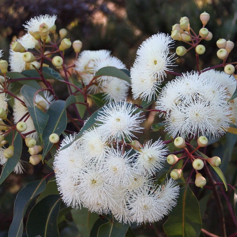 Eucalyptus calophylla de Cas Liber, Public domain, via Wikimedia Commons