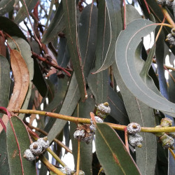 Eucalyptus bicostata de Margaret Donald from Sydney, Australia, CC BY-SA 2.0, via Wikimedia Commons