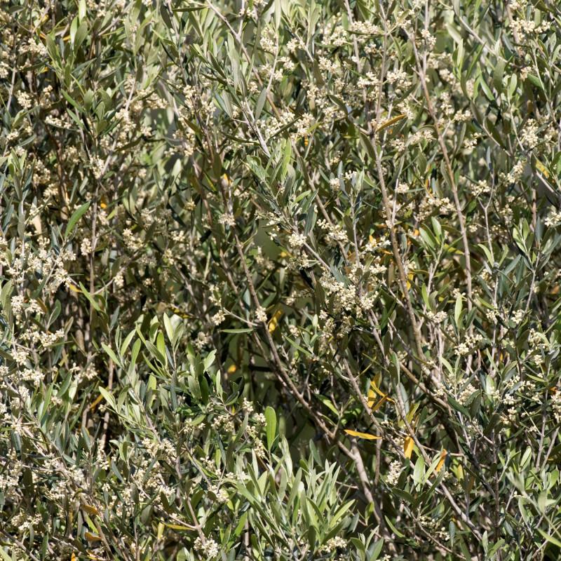 Olea oleaster par Zeynel Cebeci de Wikimedia commons