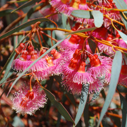 Eucalyptus torquata de Sydney Oats, CC BY 2.0, via Wikimedia Commons