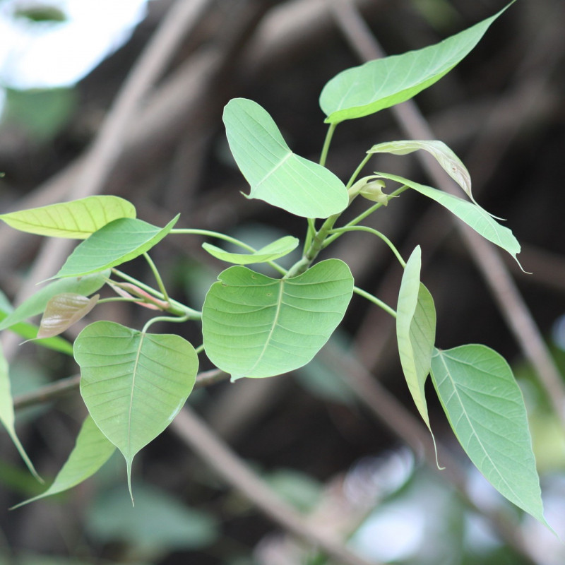 Ficus religiosa par tayphuong388 de Pixabay