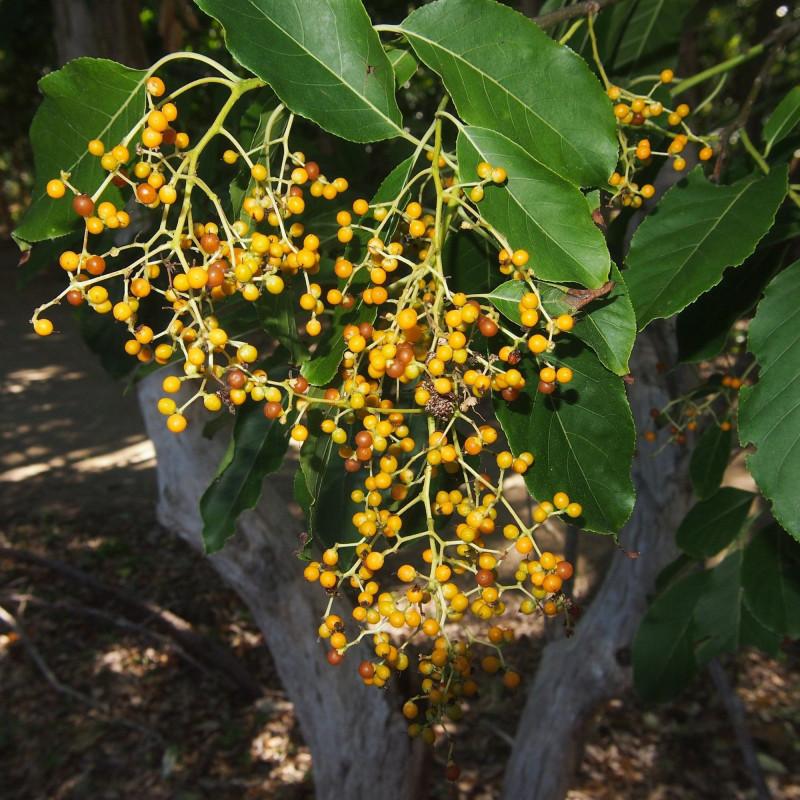 Ehretia acuminata par Marc Marathon de Wikimedia commons