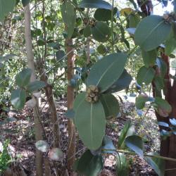 Eucalyptus kybeanensis de Krzysztof Ziarnek, Kenraiz, CC BY-SA 4.0 via Wikimedia Commons