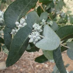 Eucalyptus crenulata de Geoff Derrin, CC BY-SA 4.0, via Wikimedia Commons