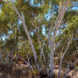 Eucalyptus camaldulensis de John Robert McPherson, CC BY-SA 4.0 via Wikimedia Commons