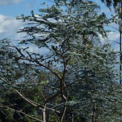 Eucalyptus pulverulenta de Alejandro  Bayer Tamayo from Armenia, Colombia, CC BY-SA 2.0, via Wikimedia Commons