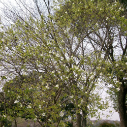Exochorda racemosa de KENPEI, CC BY-SA 3.0, via Wikimedia Commons