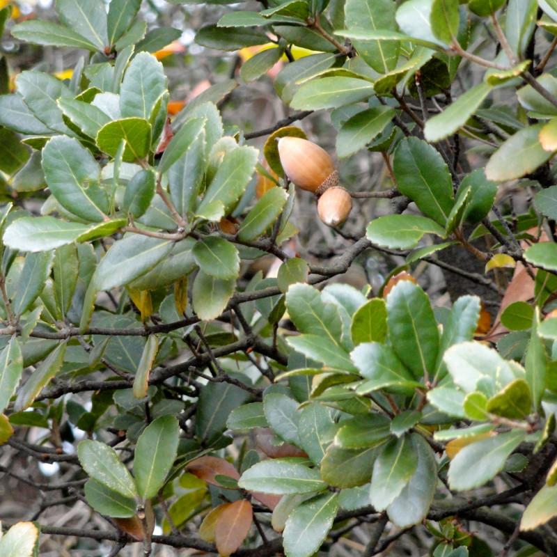 Quercus phillyraeoides par Daderot de Wikimedia commons
