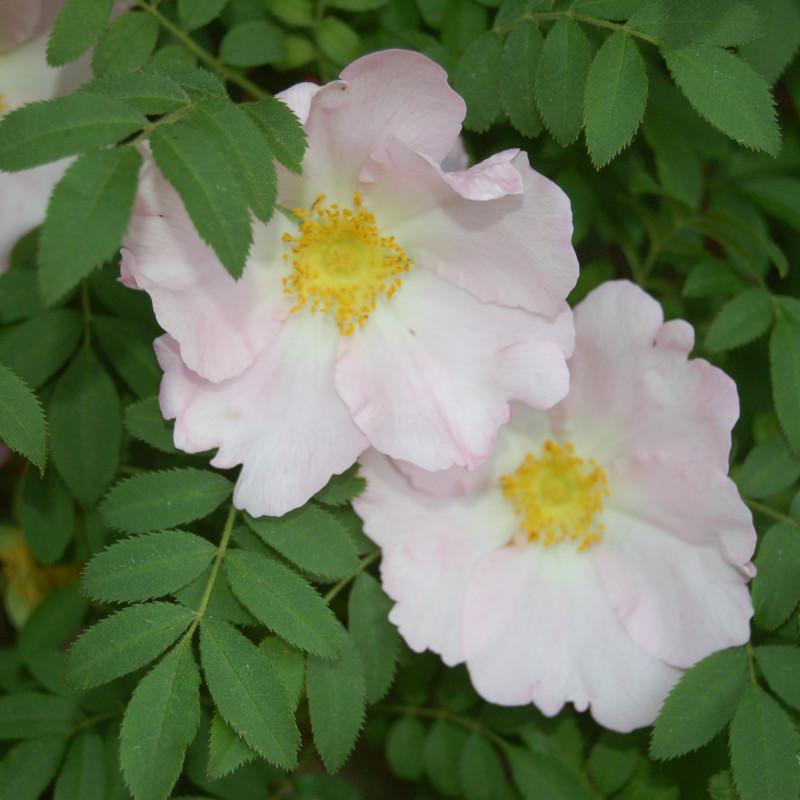 Rosa roxburghii par Huhu. de Wikimedia commons