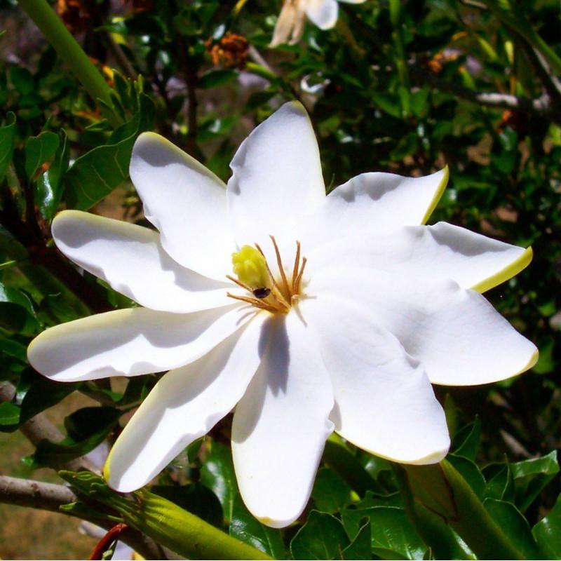 Gardenia thunbergia par Randy OHC de West Park, New York, États-Unis de Wikimedia commons