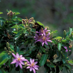 Grewia occidentalis par Forêt et Kim Starr de Wikimedia commons
