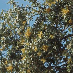 Quercus ilex ballota par Luis Fernandez Garcia de Wikimedia commons