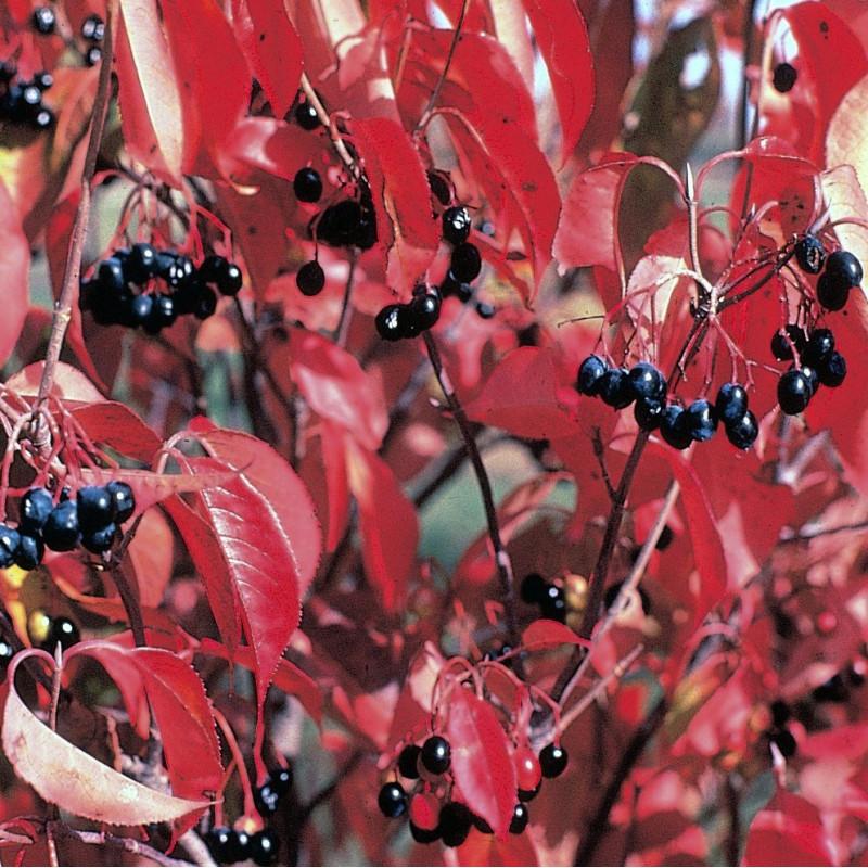 Viburnum lentago par Herman de Wikimedia commons