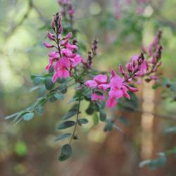 Indigofera australis de Bembacorolla, CC BY-SA 4.0, via Wikimedia Commons