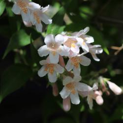 Kolkwitzia amabilis de Bernt Fransson, CC BY-SA 4.0, via Wikimedia Commons