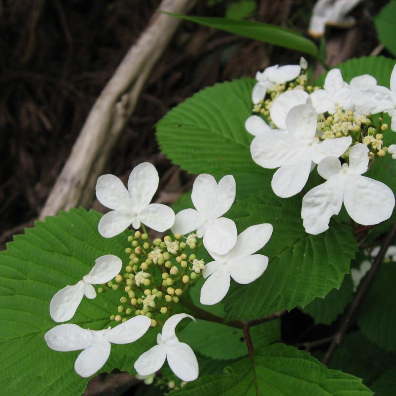 Viburnum plicatum var. tomentosum par Qwert1234  de Wikimedia commons
