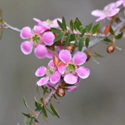 Leptospermum squarrosum de MargaretRDonald, CC BY-SA 4.0, via Wikimedia Commons