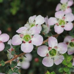 Leptospermum squarrosum de C T Johansson, CC BY-SA 3.0, via Wikimedia Commons