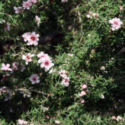 Leptospermum scoparium de David J. Stang, CC BY-SA 4.0, via Wikimedia Commons