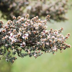 Leptospermum lanigerum de Cs california, CC BY-SA 3.0, via Wikimedia Commons