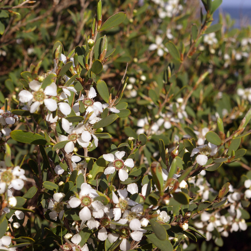 Leptospermum laevigatum de Stephen Bain, CC BY-SA 3.0, via Wikimedia Commons