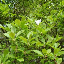 Magnolia soulangeana de Ladislav Luppa, CC BY-SA 3.0, via Wikimedia Commons