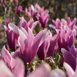 Magnolia liliiflora de Gil-Estel, CC BY 3.0 via Wikimedia Commons