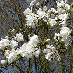 Magnolia kobus de Jamain, CC BY-SA 3.0, via Wikimedia Commons