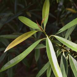 Magnolia insignis de Krzysztof Golik, CC BY-SA 4.0, via Wikimedia Commons