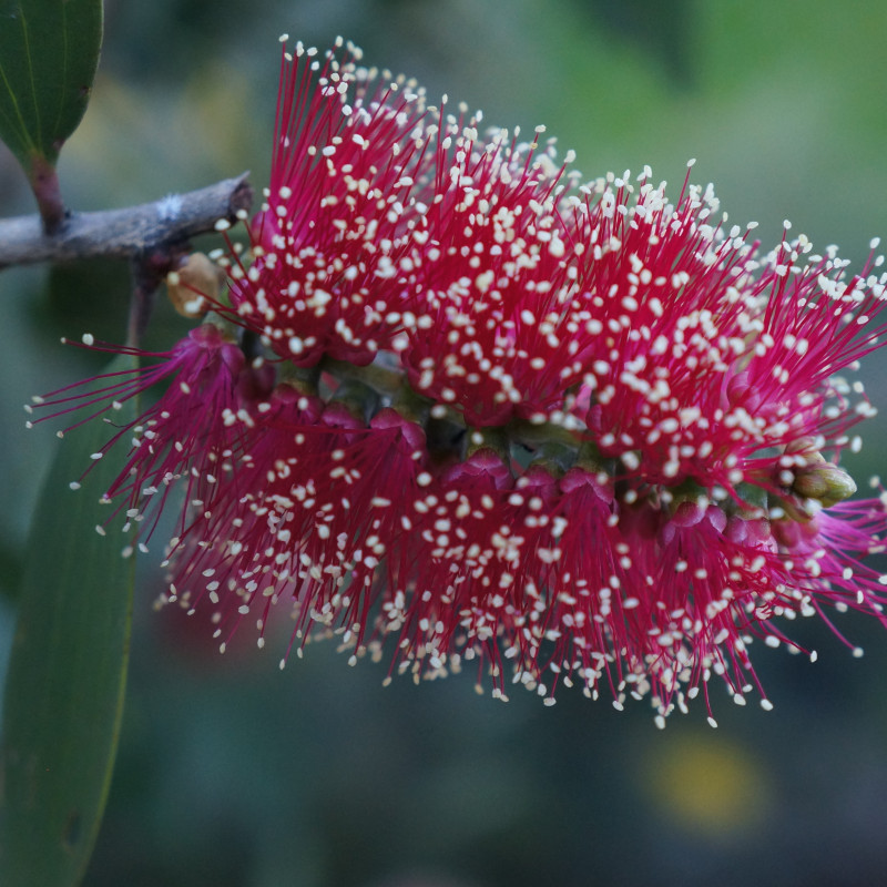 Melaleuca viridiflora red de Lwalsh84, CC BY-SA 3.0, via Wikimedia Commons