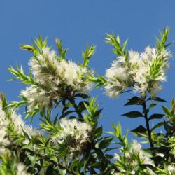 Melaleuca styphelioides de Melburnian, CC BY 3.0, via Wikimedia Commons