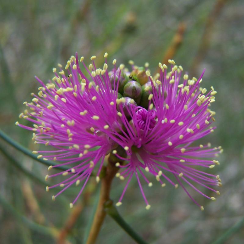Melaleuca nemtophylla de Photographs by Gnangarra...commons.wikimedia.org, CC BY 2.5 AU, via Wikimedia Commons
