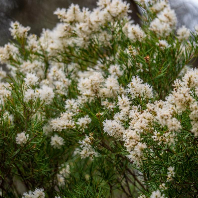 Melaleuca linariifolia de John Robert McPherson, CC BY-SA 4.0, via Wikimedia Commons