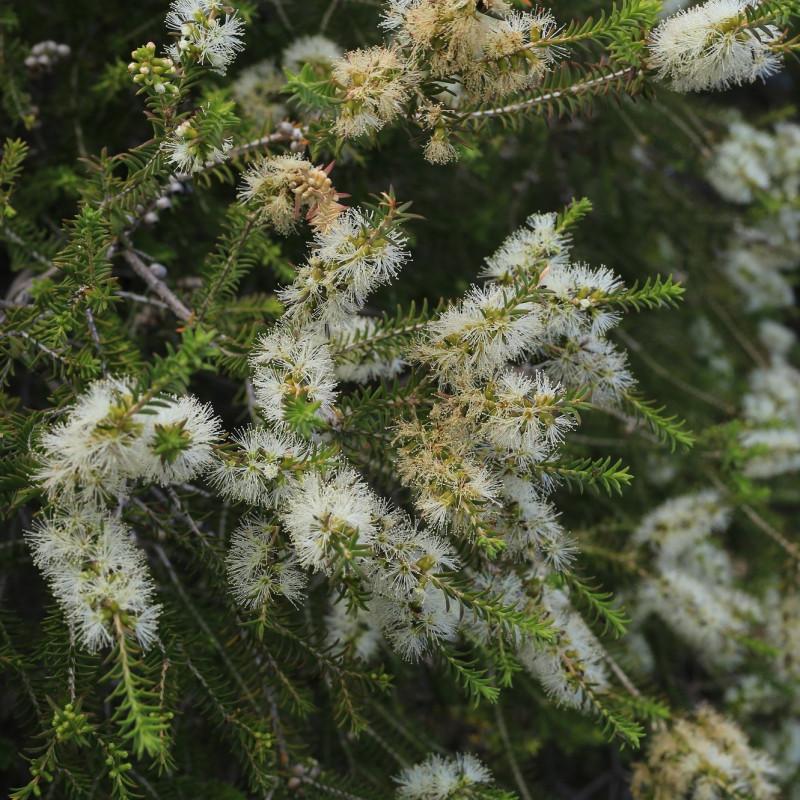 Melaleuca lanceolata de Donald Hobern from Copenhagen, Denmark, CC BY 2.0, via Wikimedia Commons