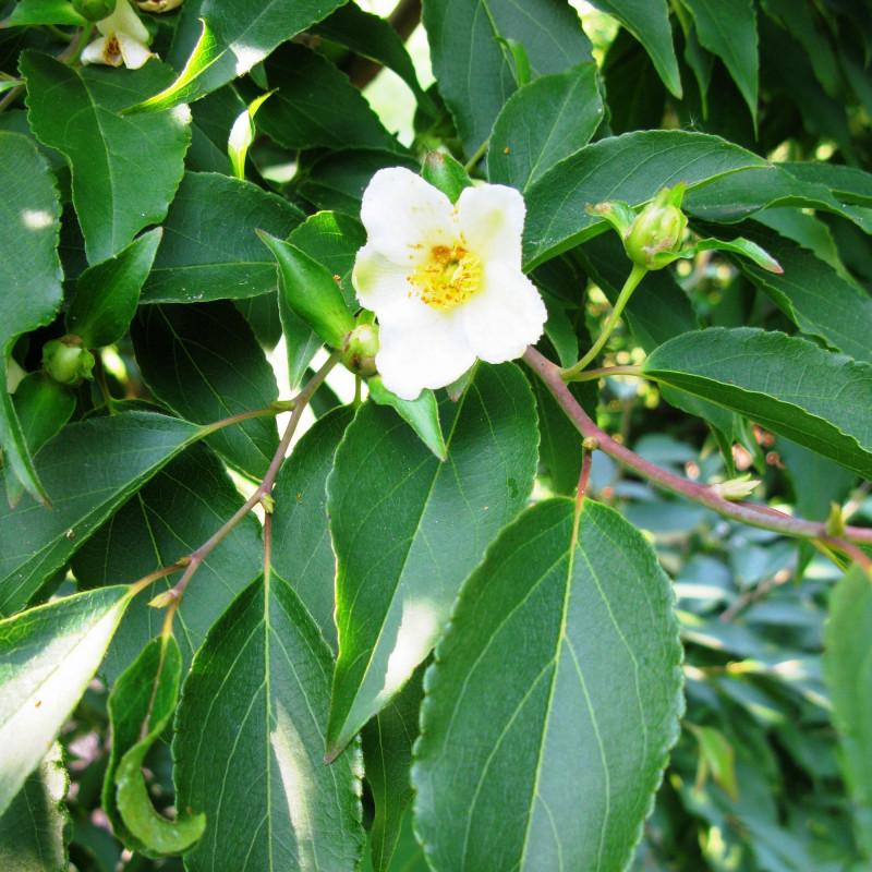 Stewartia monadelpha par Qwert1234 de Wikimedia commons