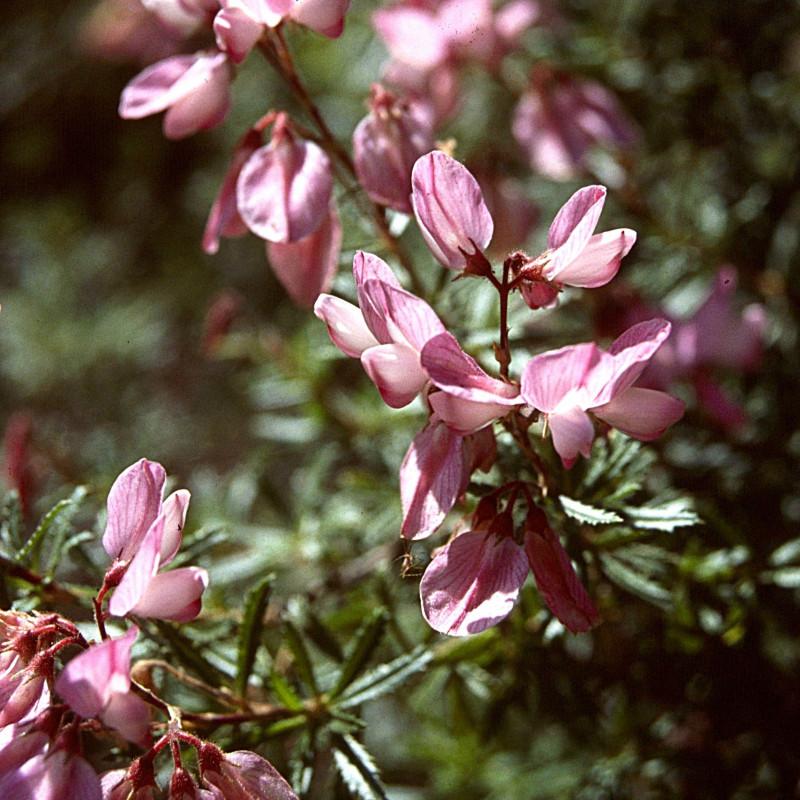 Ononis Fruticosa de Ziegler175, CC BY-SA 3.0 via Wikimedia Commons